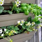 La Brique Verte mur végétal fraisiers
